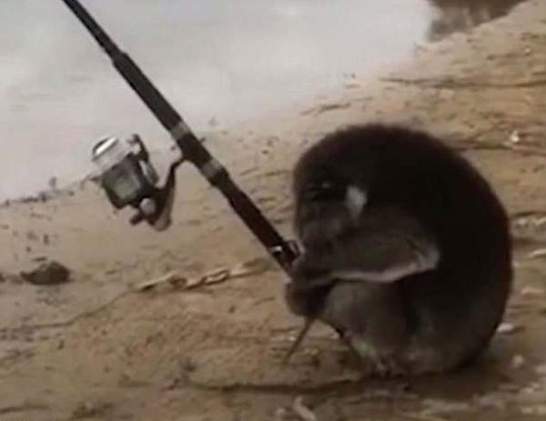 澳超萌考拉河岸用爪子握竿钓鱼呆站半小时