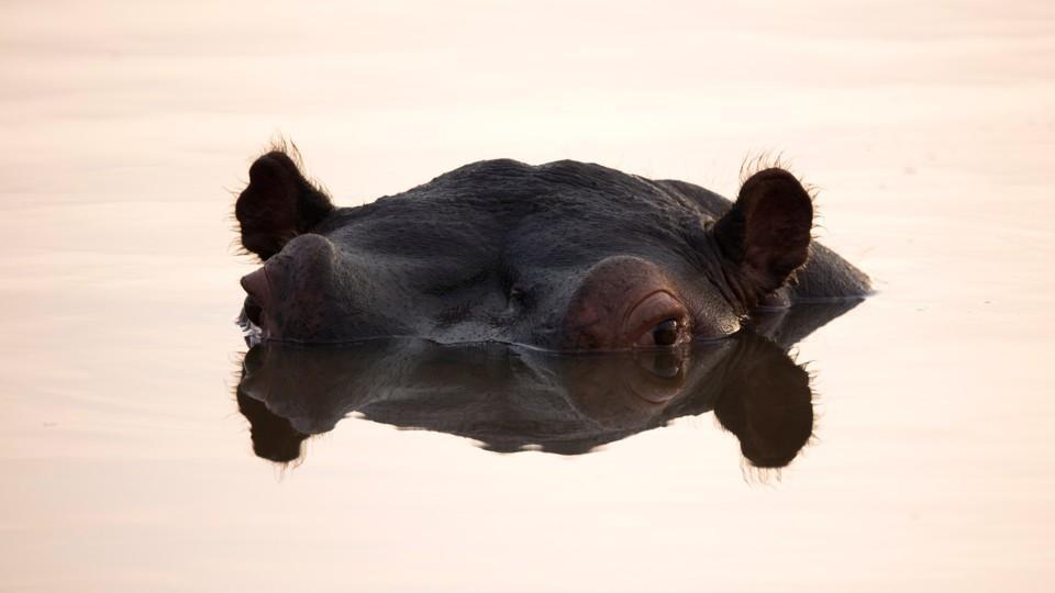非洲一条河里鱼类大量死亡,竟然是几千头河马惹祸