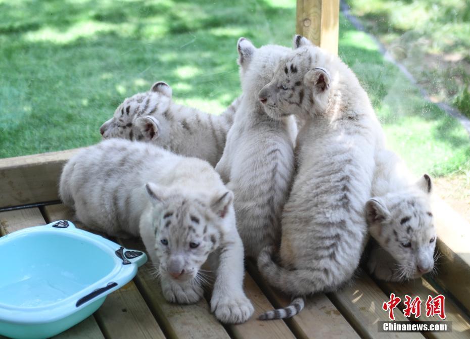 济南野生动物世界雪虎五胞胎与游客见面