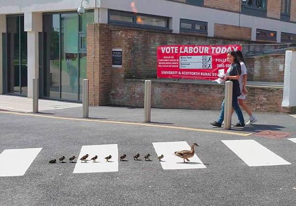 有趣!英鸭妈妈带小鸭们排队走斑马线过马路