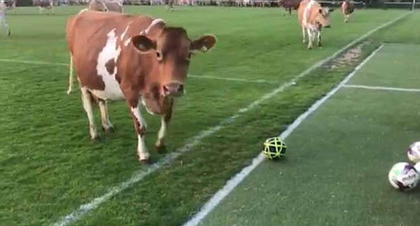 英根西岛奶牛侵占足球场致比赛终止 双方平局收场