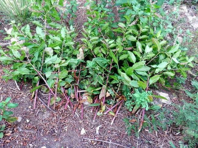 摘野菜住进ICU 医生:野天麻草根茎具有较强毒性