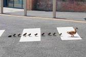 英鸭妈妈带小鸭们排队走斑马线过马路