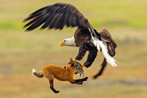 美国秃鹰从天而降与赤狐上演夺兔大战
