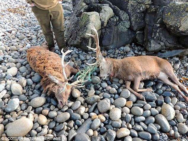 心痛!苏格兰海滩惊现两赤鹿尸体 鹿角缠绕绳索