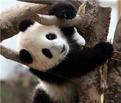 """大马萌宝熊猫""""暖暖""""妹妹长势良好 将正式会客"""