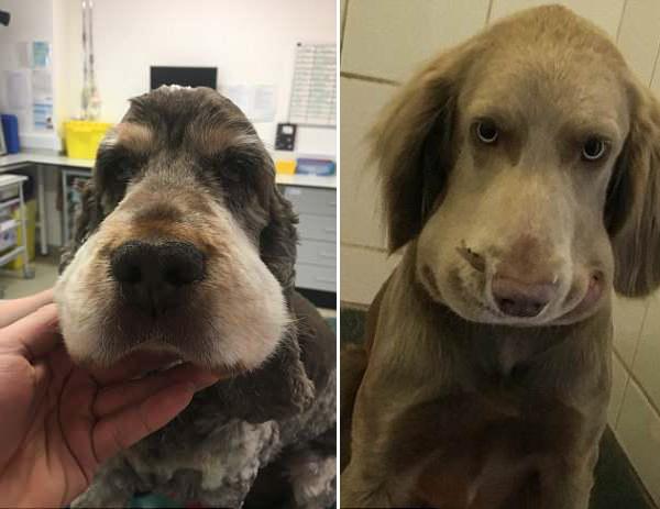 英国两小狗遭毒蛇咬伤 脸部肿胀险丧命