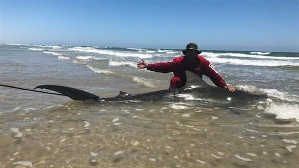 国外垂钓者竟然成功钓到一条3.4米长的虎鲨