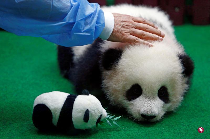 """马来西亚第二只""""土生""""熊猫幼崽会客 将在网上公开征集姓名"""
