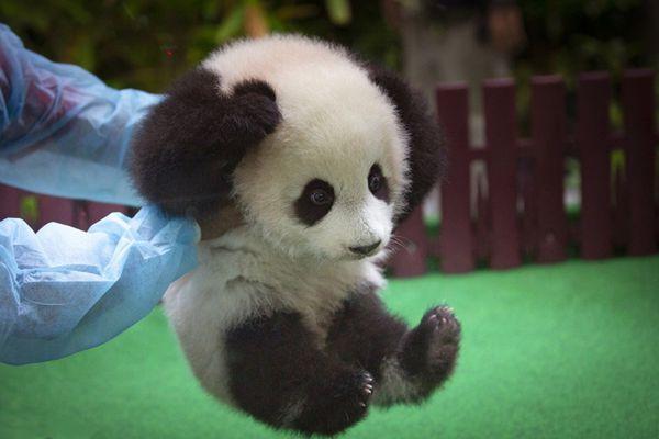 马来西亚新生大熊猫宝宝首亮相 小手捂耳朵萌翻了