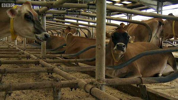 英女王奢华农场曝光 奶牛睡水床享优渥生活