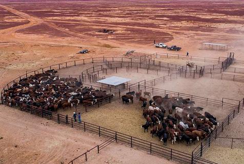 """澳牧场面积相当""""半个比利时"""" 养殖近2万头奶牛"""