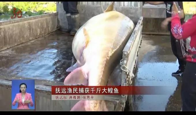 省委书记保下千斤重大鱼 鲟鳇鱼已经超过120岁