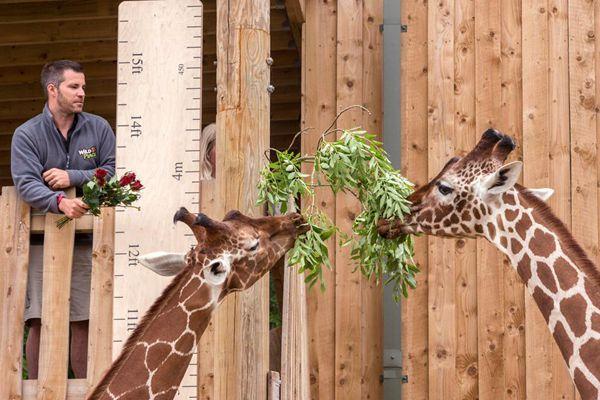 """英国动物园长颈鹿测量身高 全靠美食""""诱惑"""""""