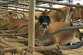 不如牛!英女王农场奶牛睡水床生活优渥