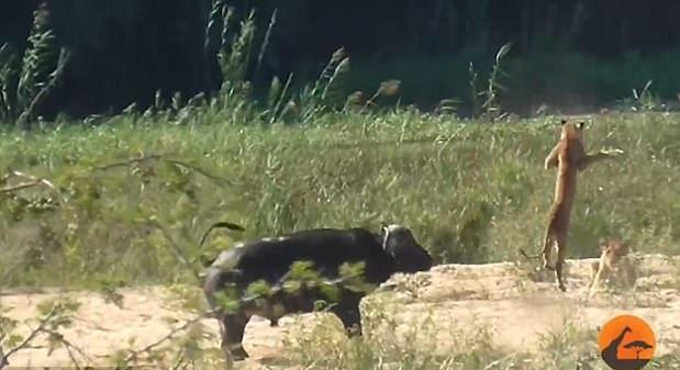 神奇!南非水牛路见不平 顶飞狮子救下蜥蜴