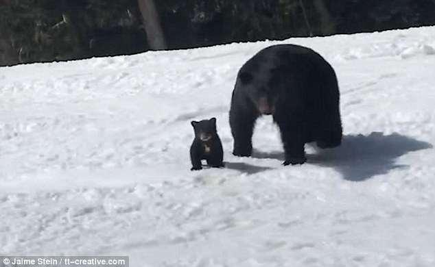 惊险!加滑雪者遭遇黑熊母子险遭攻击