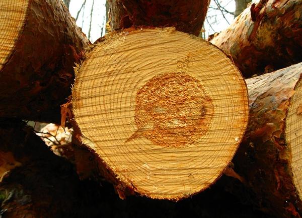 欧洲最古老松树被发现 树龄达1230岁却还在生长