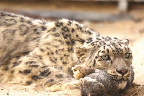 甘肃训练被救助雪豹 曾经奄奄一息如今野性十足