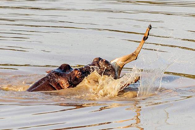 螂捕蝉黄雀在后!黑斑羚逃过野狗却入河马大口