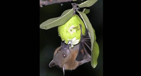 印度尼帕病毒已致数百人住院 果蝠为主要传播源