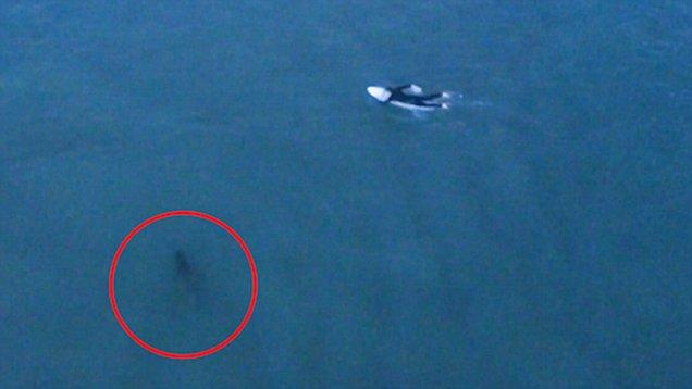 惊险!澳海域大白鲨偷偷跟随冲浪者