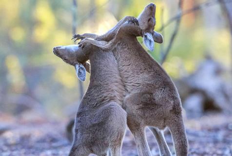 澳大利亚袋鼠宝宝当街开战上演激烈拳击赛