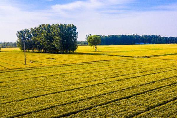 齐鲁大地乡村秀丽 黄河两岸麦浪滚滚