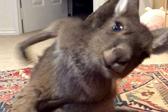 可爱!澳袋鼠疯狂放屁试图用爪子抓臭气