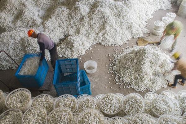 江苏海安:蚕茧丰收蚕农乐