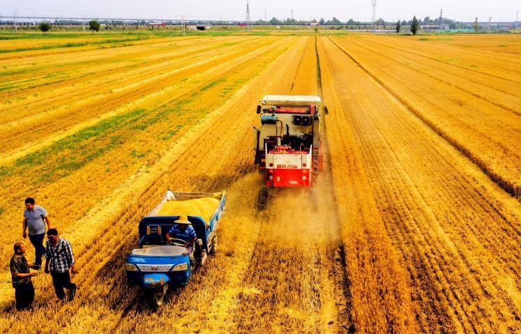 山东进入夏收农忙模式 黄河北近千亩夏粮丰收