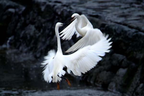 安徽黄山﹕新安江上白鹭飞
