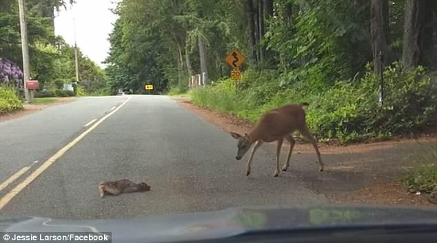 暖心!鹿妈妈道路中央救小鹿 司机停车等候