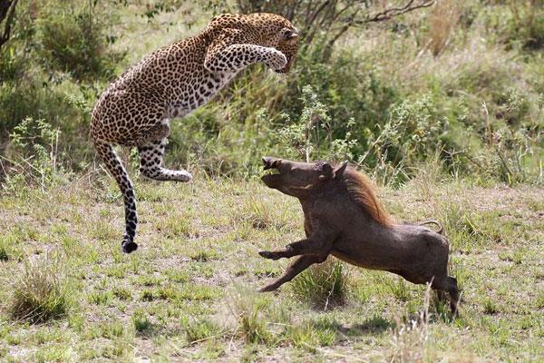高清罕见实拍!母豹捕猎疣猪全过程