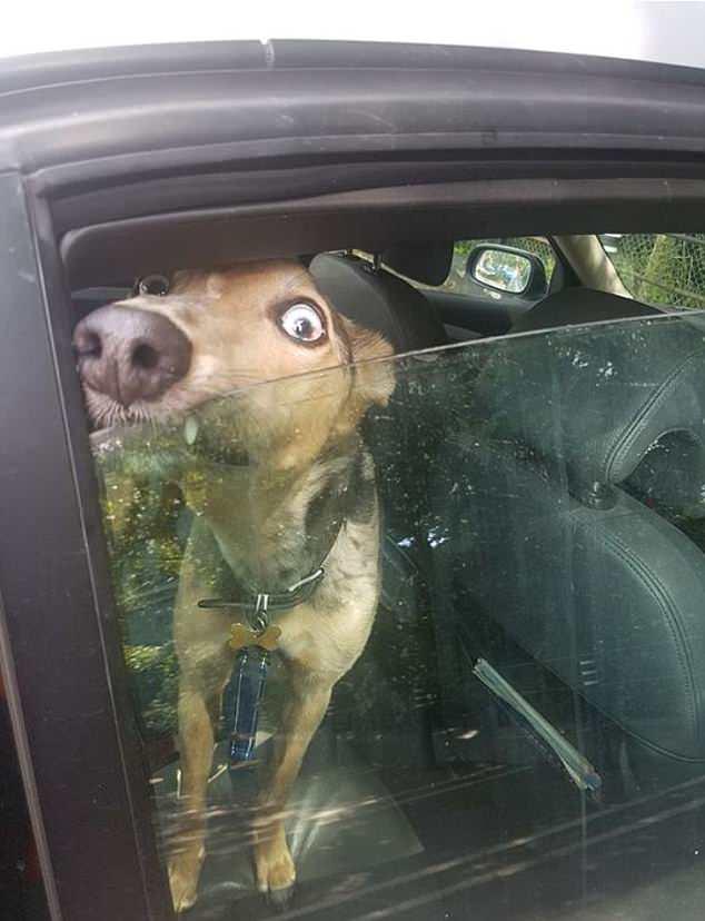 惊险!英狗狗被主人关车内因温度过高险热晕