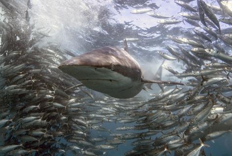 沙丁鱼抱团迁徙产卵 为鲨鱼提供绝佳机会