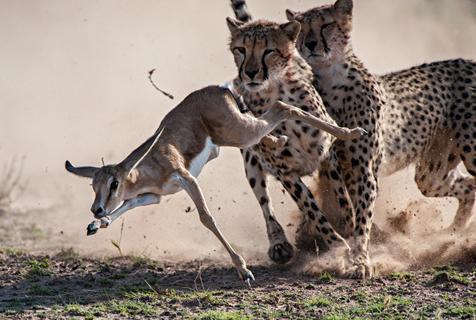 南非小跳羚遭猎豹合力围捕 上演精彩追击战