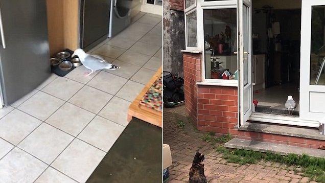 轻车熟路!英海鸥频繁出入居民家后院偷吃猫粮