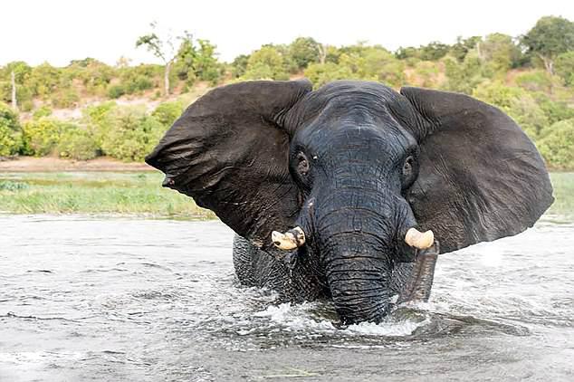 博茨瓦纳游船距大象太近遭其愤怒攻击