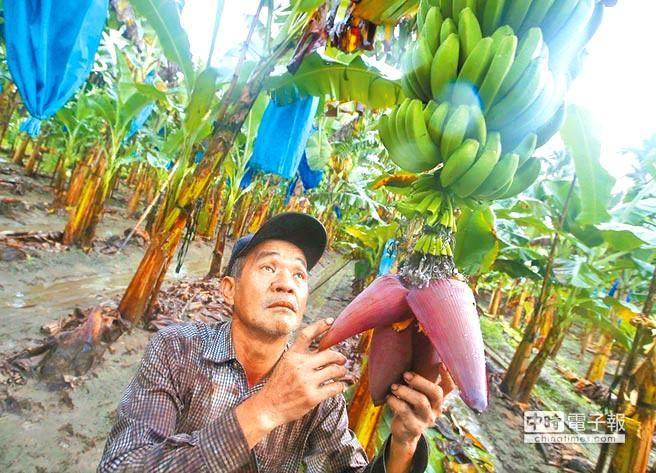 每公斤1元的香蕉是喂猪的?台蕉农:徐国勇应该下台