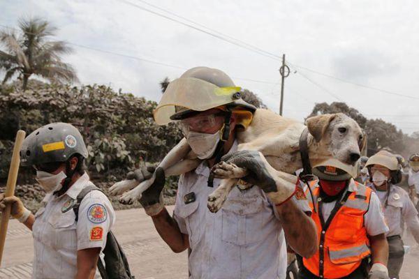 危地马拉火山爆发 救援人员抢救出一车动物