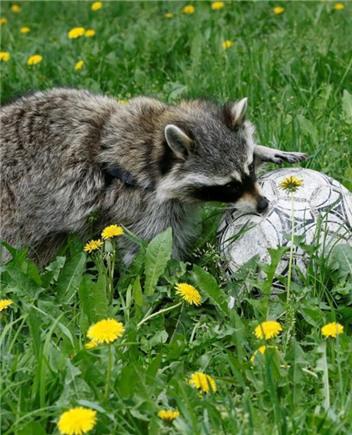"""为世界杯预热 俄罗斯动物园举办""""足球日"""""""