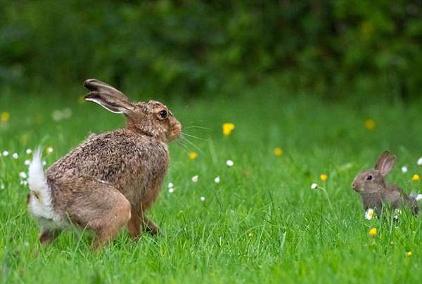 英小母兔先声夺人飞身对抗大野兔毫不畏惧