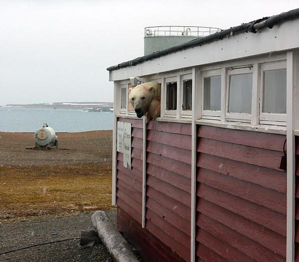"""挪威一北极熊""""洗劫""""酒店储藏室从窗口挤出"""