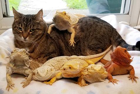 美国猫咪玩转跨界友情乌龟蜥蜴通吃