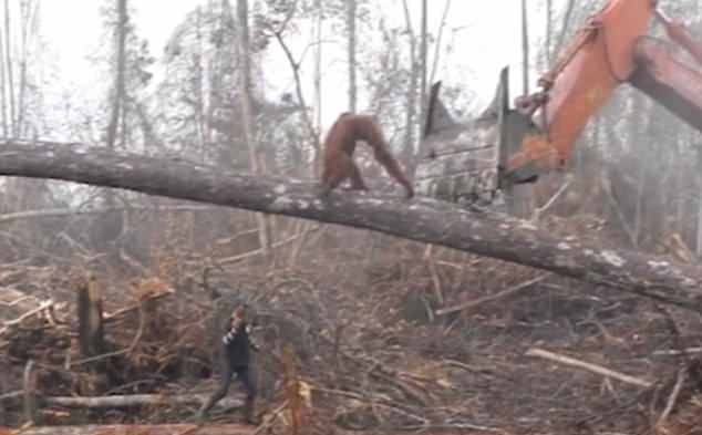 """印尼一猩猩与挖掘机近身""""肉搏""""保卫家园"""