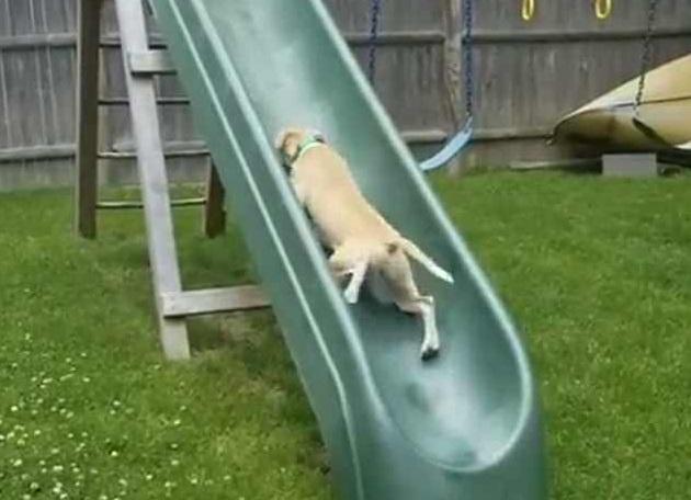 小狗执意爬滑梯 越摔越勇次次姿势都不同