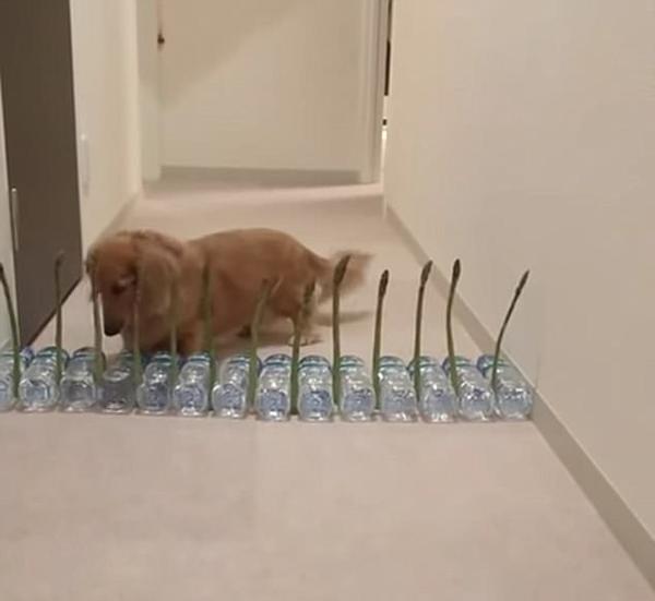 太逗了!腊肠犬被过道栅栏搞蒙圈来回走动找破绽