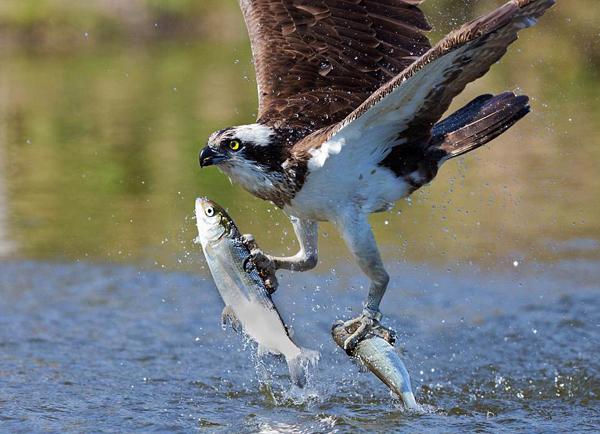 威猛!芬兰鱼鹰猛扑湖面拽出两条小鱼尽显捕食技能