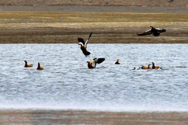 甘肃戈壁天池引候鸟栖息繁殖
